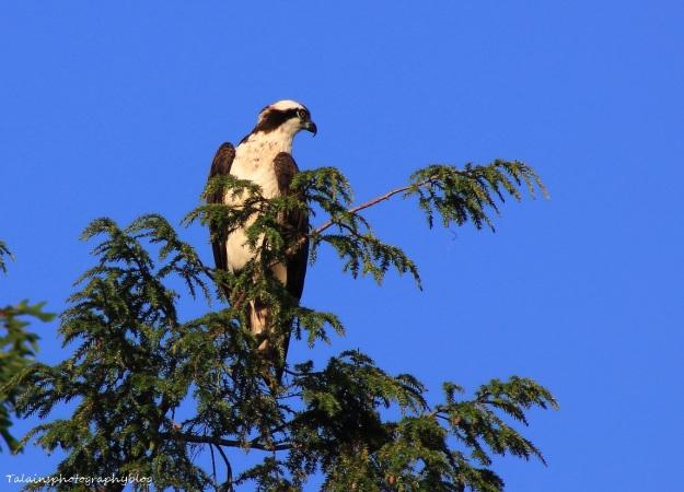 osprey-090
