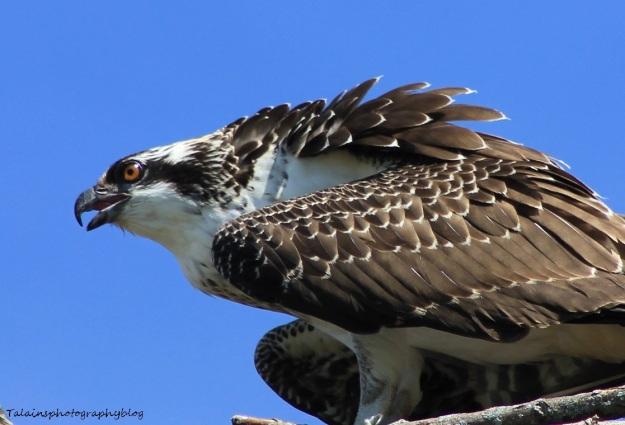 osprey-094
