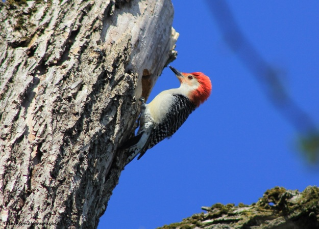 red-bellied-woodpecker-006