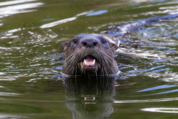 river-otter-in-our-pond-9dec13-face