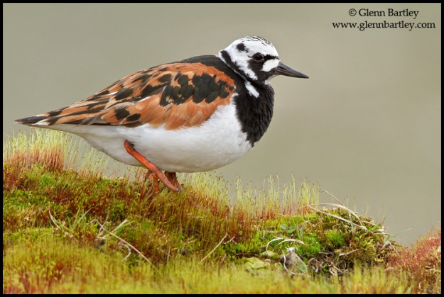 Ruddy Turnstone - 04