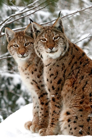 s-A-pair-of-lynxes-in-the-snow