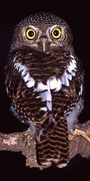 s-Glaucidium-capense