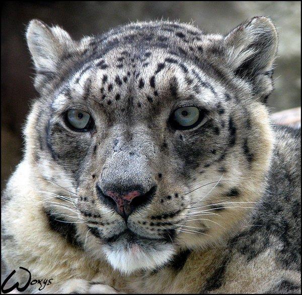Snow leopard, uncia uncia by woxys   http://goo.gl/e2uvpo