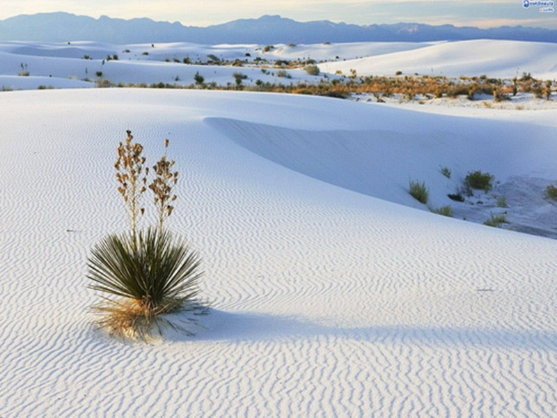 Soaptree-Yucca-Growing-in-Gypsum-Sand-White-Sands-National-Monument-New-Mexico
