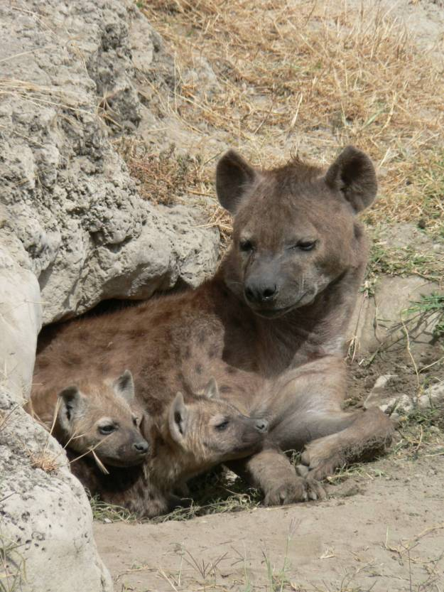 spotted_hyena_and_young_in_ngorogoro_crater