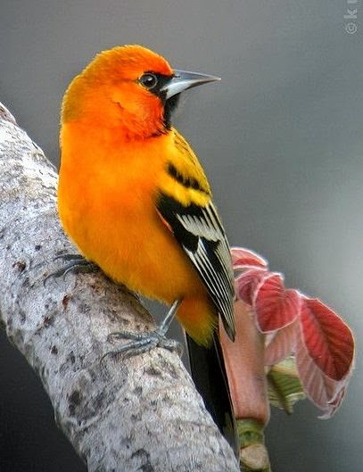 Streak-backed Oriole, found in Central America and Mexico