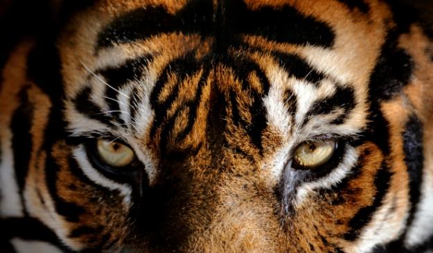 tigermedium