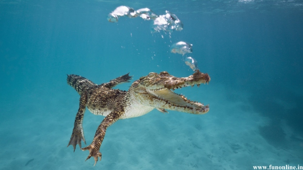 underwater-baby-crocodile-swimming-wallpaper