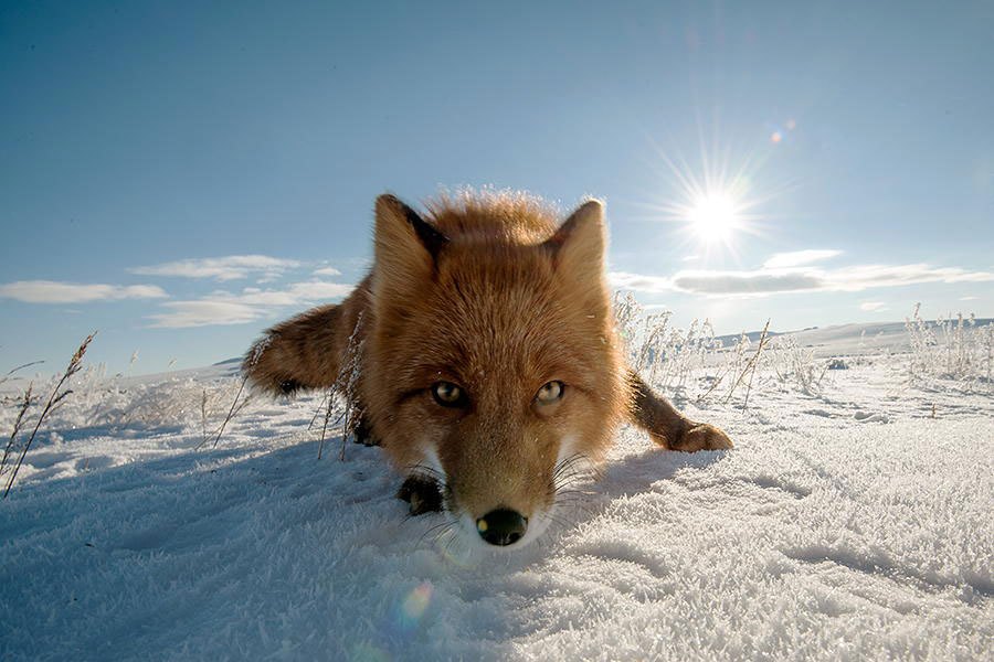 wild-foxes-photography-ivan-kislov-15