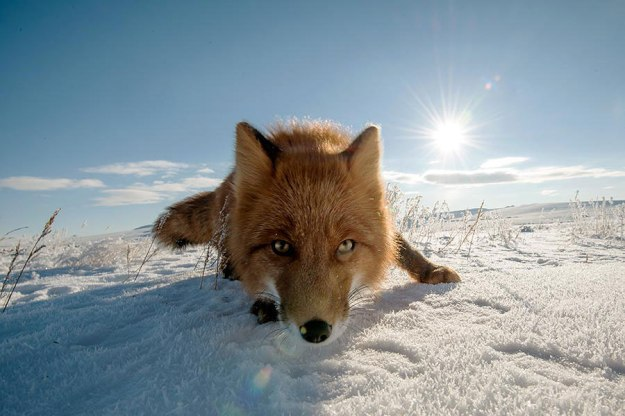 wild-foxes-photography-ivan-kislov-15