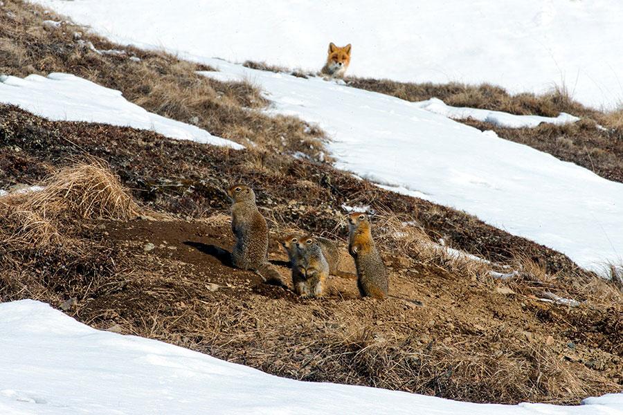 wild-foxes-photography-ivan-kislov-16