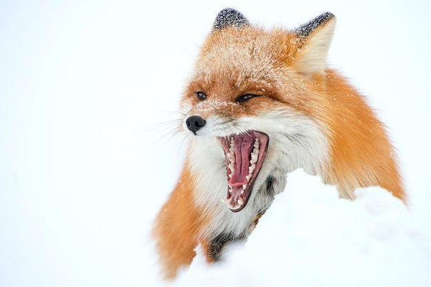 wild-foxes-photography-ivan-kislov-9