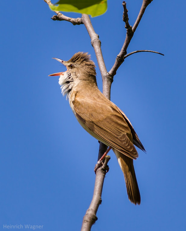 20130608-IMG_6367-Marsh Warbler