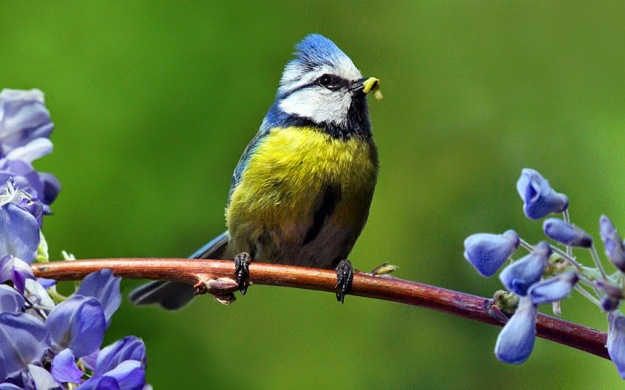 BIRDS-BLUE-TIT_3234004k