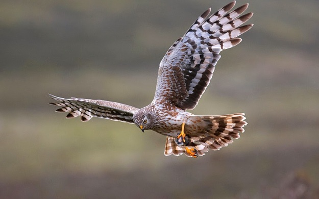 BIRDS-HEN-HARRIER_3234002k