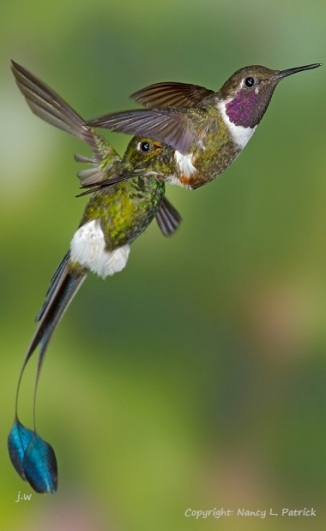 booted-racket tail-humming-bird