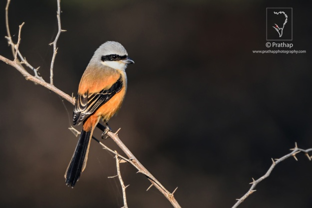 Day-14-Bay-backed-Shrike-in-Beautiful-Light-Clean-Background-Bokeh-Effect-Bharatpur-Bird-Sanctuary-Keoladeo-National-Park-Nature-Wildlife-Bird-Photography-by-Prathap-Nature-Photography-Simplified