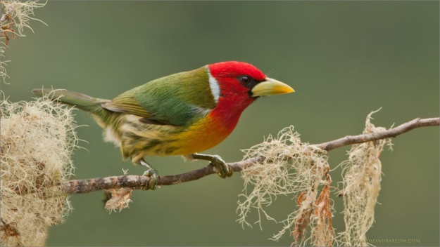 _DSC0888 Red-headed Barbet 1600 share