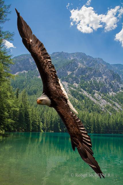 Bald Eagle (Haliaeetus leucocephalus)  - Weißkopfseeadler