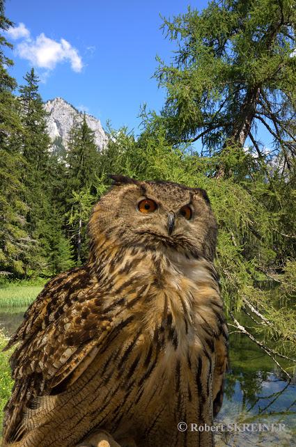 Eurasian Eagle-Owl   (Bubo bubo) - Uhu