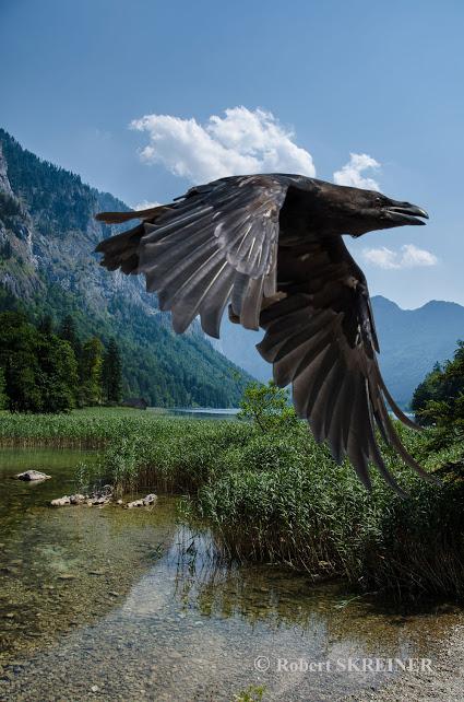 Common Raven (Corvus corax)  - Kolkrabe - Leopoldsteinersee
