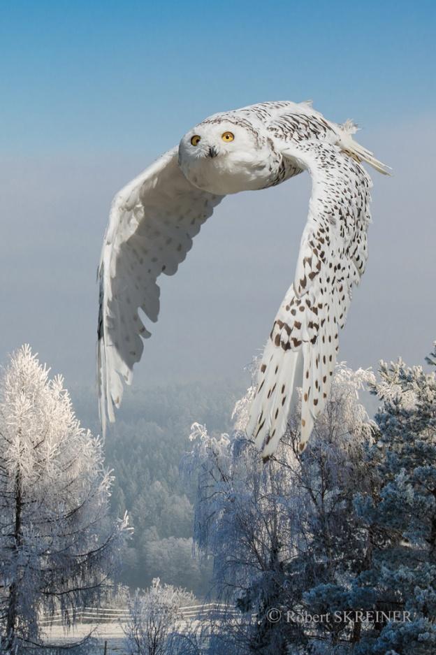 Snowy Owl - Schnee Eule