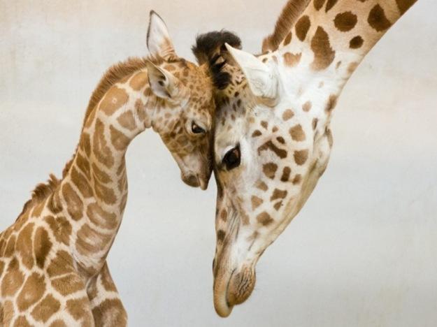girafe-family-1024x680