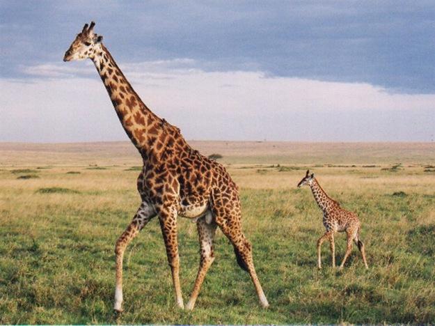Giraffe-Coupledgn