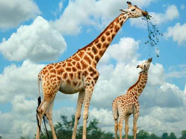 Giraffe-high-definition-wallpapers-free-download-marvelous-hd-wallpapers-of-giraffe
