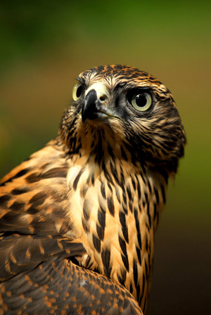 Goshawk Glance by Shadow-and-Flame-86   http://goo.gl/WdFZvz