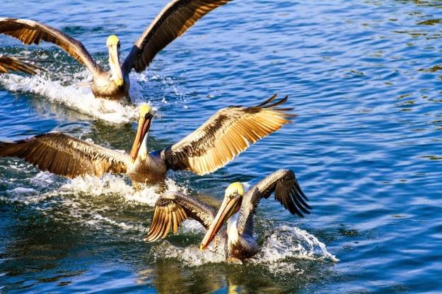 Pelicans 083