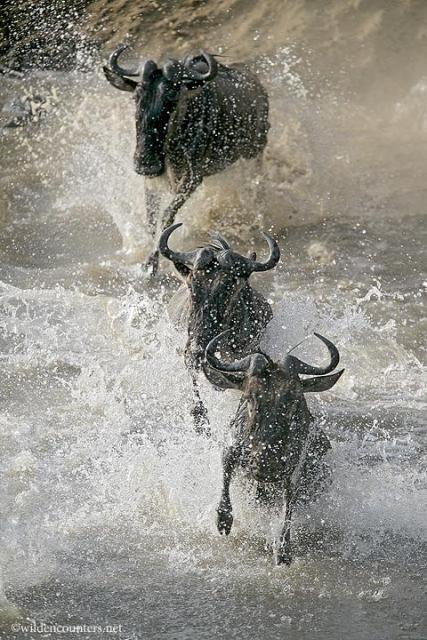 0251_-_Wildebeest_charging_into_the_Mara_river__Kenya