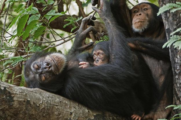 1-a-first-time-mother-chimpanzee-reclines-frans-lanting