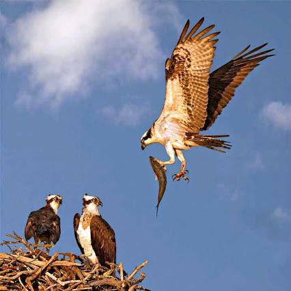 1B-eagle
