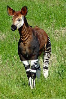 220px-Okapia_johnstoni_-Marwell_Wildlife,_Hampshire,_England-8a