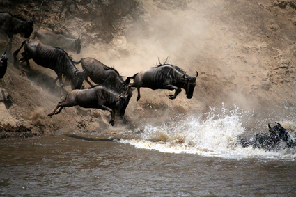 3-river-intro-wildebeest-charging-into-river-thumb-425x283