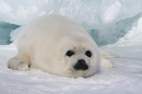 500-baby-seal1
