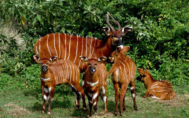 800px-Four_bongo_calves_with_nanny