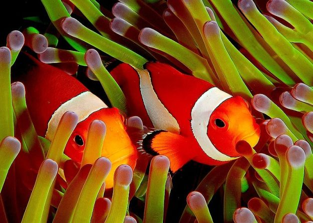 800px-Ocellaris_clownfish,_Flickr