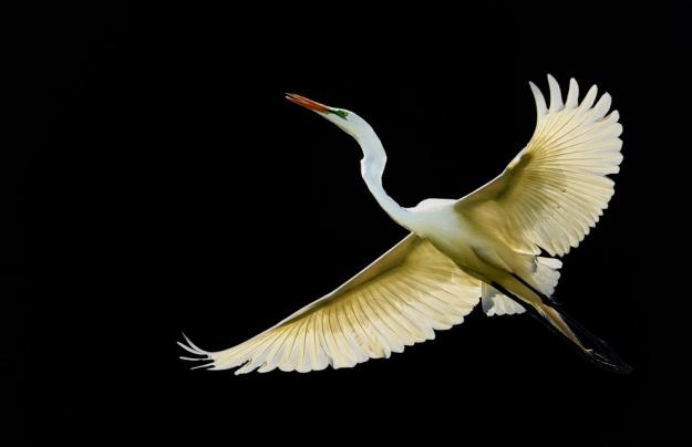 A Great White in Flight black WEB rev