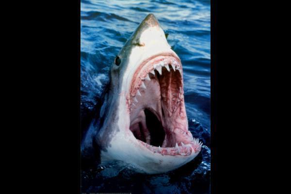 a-great-white-shark