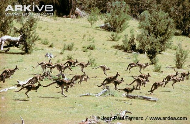 A-group-of-eastern-grey-kangaroos-jumping