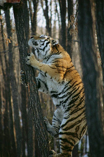 A Tiger climbing a tree. Just look how thin that tree is. Amazing!