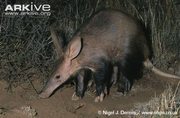 Aardvark-foraging