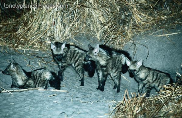 aardwolf pups