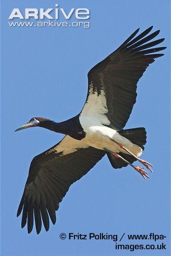 Abdims-stork-flying-view-of-underside-of-wings