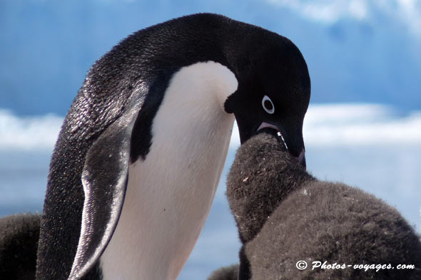 adelie-penguin feeding young