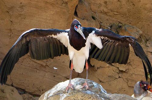 adim's stork