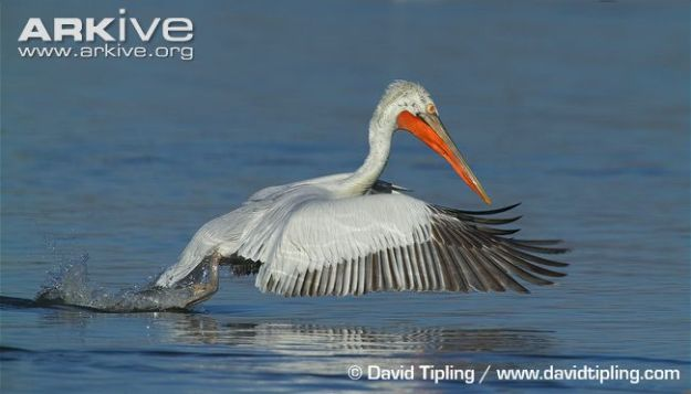 Adult-dalmatian-pelican-fishing